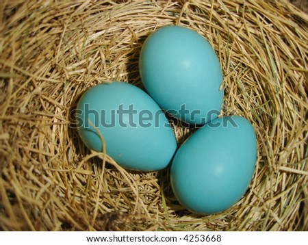 Robin eggs in nest close up