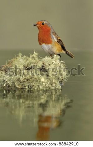 Robin, Erithacus rubecula. - stock photo