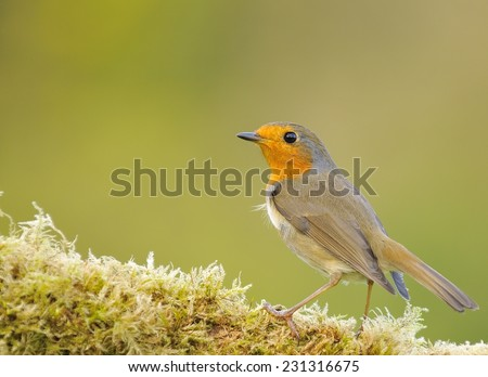 Robin, erithacus rubecula in the garden on green background.
