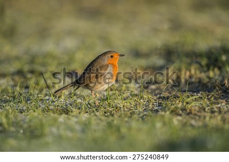 Robin, Erithacus rubecula, on icy grass