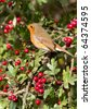 Robin (Erithacus rubecula) perched in a tree - stock photo