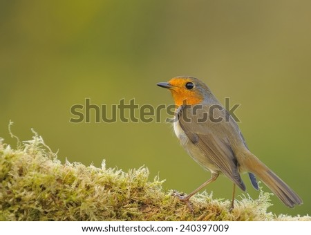 Robin, erithacus rubecula perched on a log with moss
