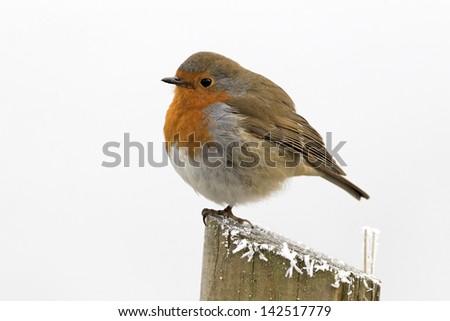 Robin, Erithacus rubecula, single bird in frost, Midlands, December 2010 - stock photo