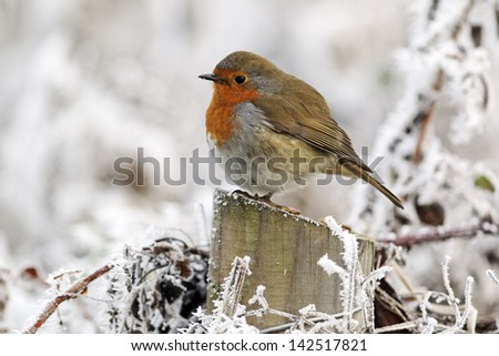 Robin, Erithacus rubecula, single bird in frost, Midlands, December 2010 - stock photo