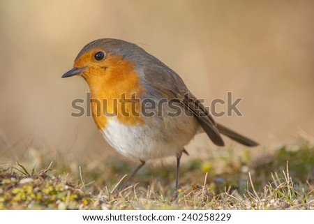 Robin, (Erithacus rubecula) with a look of curiosity - stock photo