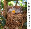 Robin fledgelings crowded into nest with mouth of one very wide open - stock photo