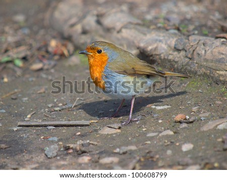 Robin foraging for food on the ground