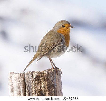 Robin  in a snowy day - stock photo
