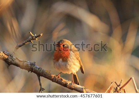 robin in the rays of the rising sun,symbol of Christmas, Symbol UK - stock photo
