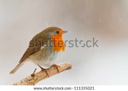 Robin in winter, perched on a branch looking right