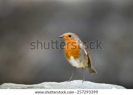 robin isolated on rugged stone