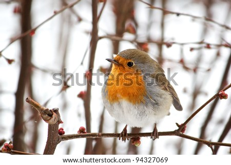 Robin on a tree in a snowy day - stock photo