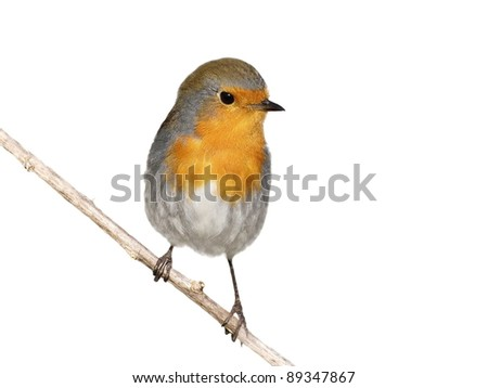 Robin on branch isolated on white background,  Erithacus rubecula - stock photo