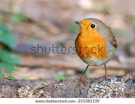 Robin on the ground - stock photo