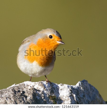 Robin on the stone