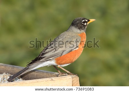 robin on top of a safflower feeder overlooks his terrain; background is shallow focus greens of pine trees