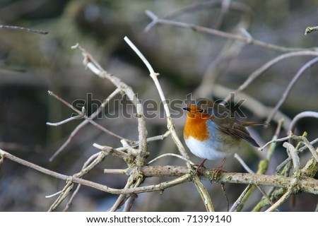 Robin perched on a branch - stock photo