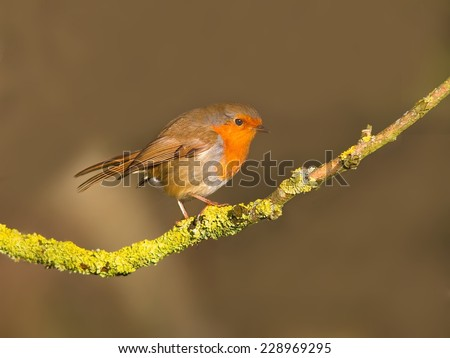 Robin perched on a lichen covered branch - stock photo