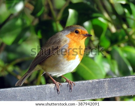 Robin perched on a railing at Sewerby Park, Bridlington, East Yorkshire UK - stock photo