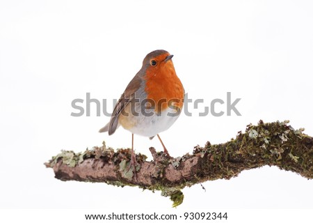 Robin perched on a tree branch - stock photo