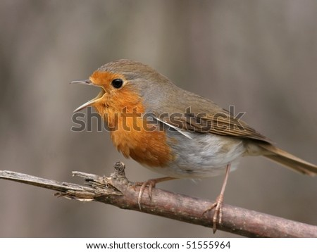 Robin perched on a twig and sing, close-up