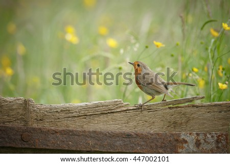 Robin perched on an old fence in a buttercup meadow - stock photo