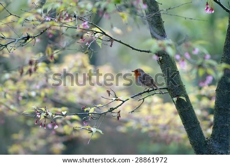 Robin perched on branch with pastel tone spring blossom background - stock photo