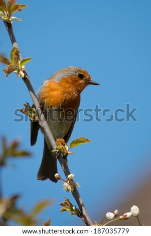 Robin Red Breast, perched against blue sky - stock photo