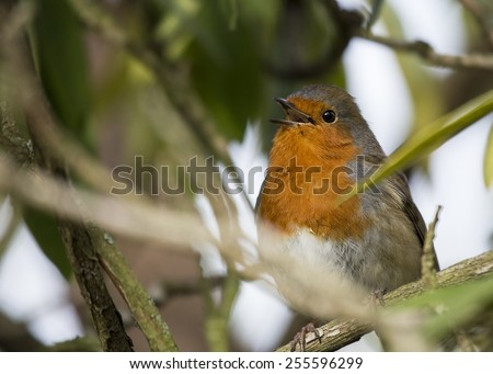 Robin Red Breast spotted outdoors in Dublin, Ireland