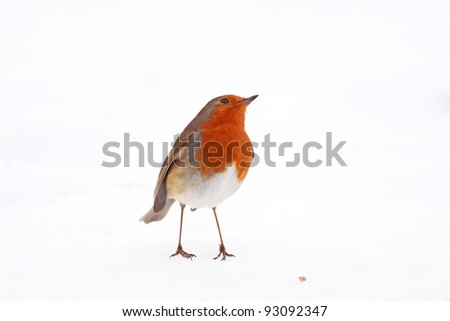 Robin red breast standing in snow with one seed - stock photo
