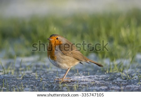 Robin, redbreast, Erithacus rubecula, perched on the ice