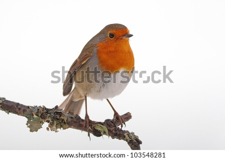 Robin redbreast perched on a lichen covered twig - stock photo