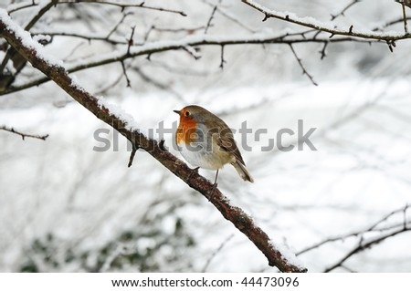 robin redbreast perched on a snow covered tree branch - stock photo