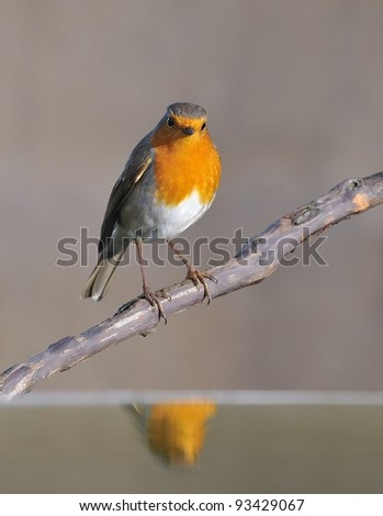 Robin reflected in water. - stock photo