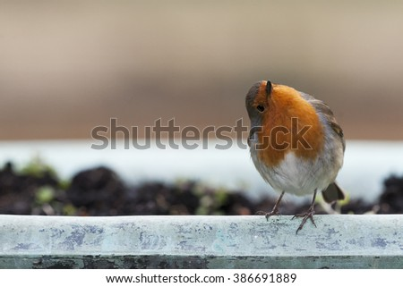 Robin's are a passerine bird and common in the UK - stock photo