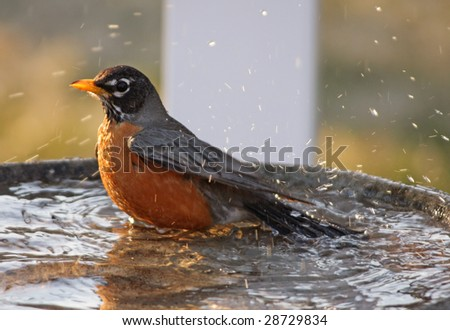 Robin taking a bath - stock photo