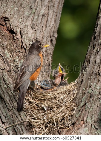 robin watches over her young as they as cry in hunger; baby with mouth wide open - stock photo