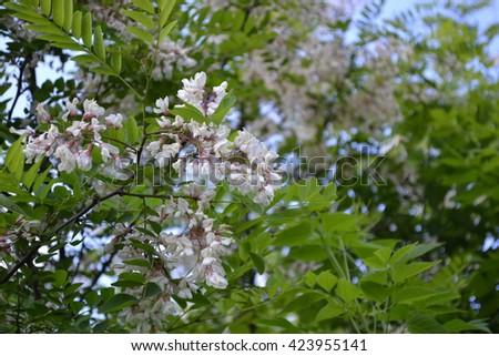 Robinia pseudoacacia. White Acacia. Delicate blossoms in the sunlight - stock photo