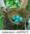 robins eggs in the nest - stock photo