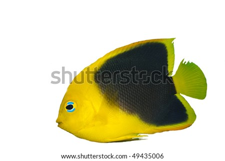 Rock Beauty Angelfish (Holacanthus tricolor) isolated on White - stock photo