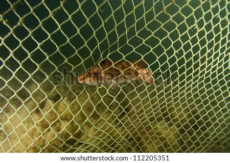 Rock Cook fish caught in net - stock photo
