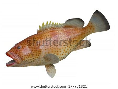 Rock Hind saltwater fish found in the waters off Honduras, isolated with clipping path - stock photo