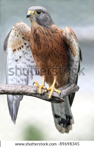Rock kestrel bird of prey resting on a branch with wings open - stock photo