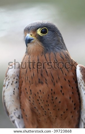 Rock Kestrel bird of prey with brown and gray feathers - stock photo