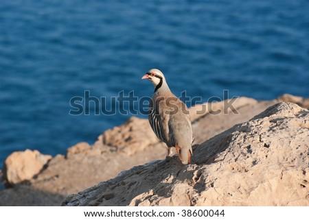 Rock Partridge, on background the sea of cape Sounion, Greece - stock photo