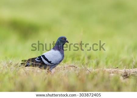 Rock Pigeon in Pottuvil, Sri Lanka ; specie Columba livia in Arugam bay lagoon - stock photo