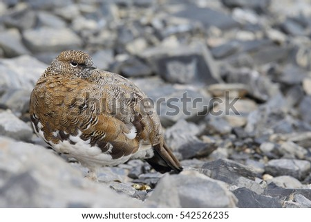 Rock ptarmigan on the alps