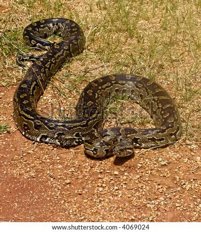 Rock python, keeping warm in the sun, Pythonidae family, wildlife series - stock photo