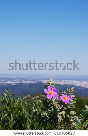 Rock Rose flower (or Cistus flower) in Arrabida natural park
