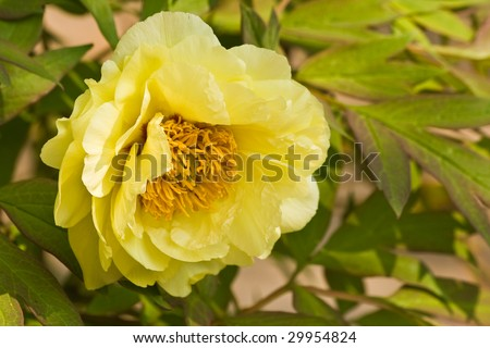 Rock's peony or Rock's tree peony with yellow flowers in spring